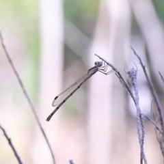 Austrolestes leda (Wandering Ringtail) at O'Connor, ACT - 2 Mar 2021 by ConBoekel