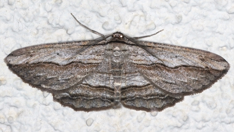 Euphronarcha luxaria at Ainslie, ACT - 8 May 2021