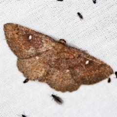 Casbia melanops (Pomaderris Moth) at Tidbinbilla Nature Reserve - 12 Mar 2021 by ibaird