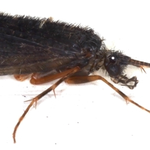 Trichoptera sp. (order) at Ainslie, ACT - 7 May 2021