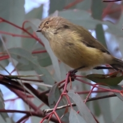 Smicrornis brevirostris (Weebill) at Ainslie, ACT - 1 May 2021 by jbromilow50