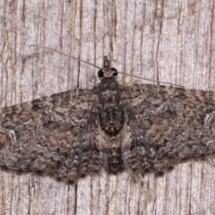 Chloroclystis filata (Filata Moth, Australian Pug Moth) at Melba, ACT - 12 May 2021 by kasiaaus