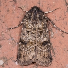Agrotis porphyricollis (Variable Cutworm) at Melba, ACT - 14 May 2021 by kasiaaus