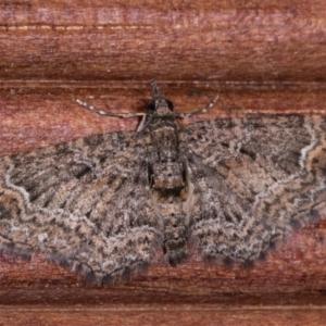 Chloroclystis (genus) at Melba, ACT - 15 May 2021