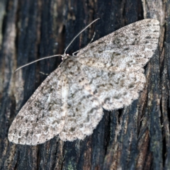 Ectropis fractaria (Ringed Bark Moth) at Tidbinbilla Nature Reserve - 12 Mar 2021 by ibaird
