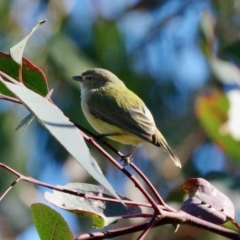 Smicrornis brevirostris (Weebill) at Red Hill Nature Reserve - 16 May 2021 by ebristow