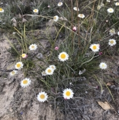 Leucochrysum albicans subsp. tricolor (Hoary Sunray) at Booth, ACT - 30 Apr 2021 by BrianH