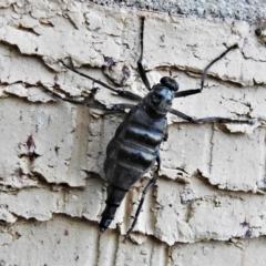 Boreoides subulatus (Wingless Soldier Fly) at Wanniassa, ACT - 17 May 2021 by JohnBundock