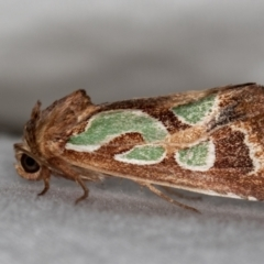 Cosmodes elegans (Green blotched moth) at Melba, ACT - 14 Dec 2020 by Bron