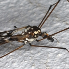 Ischnotoma (Ischnotoma) eburnea at Ainslie, ACT - 12 May 2021