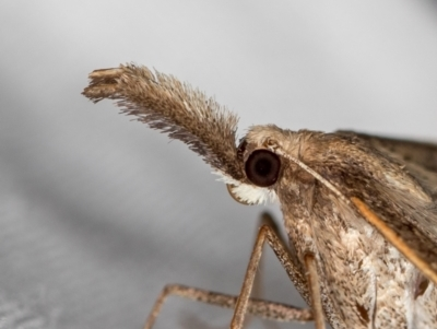 Epidesmia hypenaria (Long-nosed Epidesmia) at Melba, ACT - 14 Dec 2020 by Bron