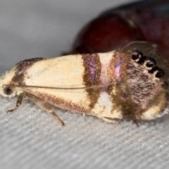 Eupselia satrapella and similar species (An Hypertrophid moth) at Melba, ACT - 14 Dec 2020 by Bron