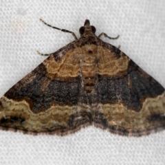 Epyaxa subidaria (Subidaria Moth) at Melba, ACT - 14 Dec 2020 by Bron