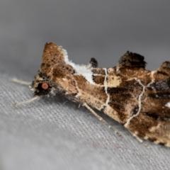 Arrade leucocosmalis (Garden Snout) at Melba, ACT - 13 Dec 2020 by Bron