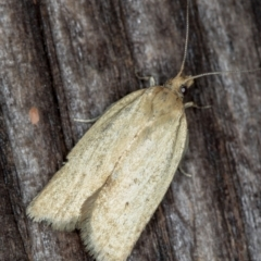 Epiphyas caryotis (A Tortricid moth) at Melba, ACT - 12 Dec 2020 by Bron