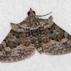 Phrissogonus laticostata (Apple looper moth) at Melba, ACT - 11 Dec 2020 by Bron