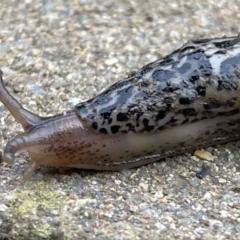 Limax maximus (Leopard Slug, Great Grey Slug) at Watson, ACT - 17 May 2021 by WarrenRowland