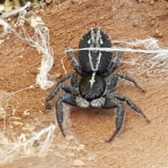Ocrisiona leucocomis (White-flecked Crevice-dweller) at Holt, ACT - 18 May 2021 by tpreston