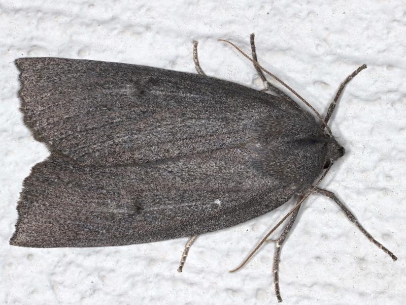 Paralaea ochrosoma at Ainslie, ACT - 14 May 2021