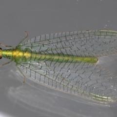 Pseudomallada edwardsi (A Green Lacewing) at Ainslie, ACT - 13 May 2021 by jbromilow50