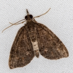 Microdes squamulata (Dark-grey Carpet) at Melba, ACT - 9 Dec 2020 by Bron