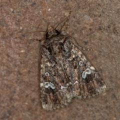 Ectopatria horologa (A Noctuid moth) at Melba, ACT - 9 Dec 2020 by Bron