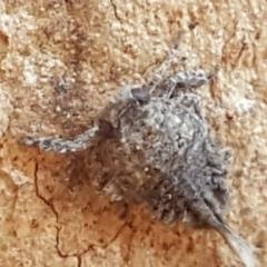 Fulgoroidea sp. (superfamily) (Unidentified fulgoroid planthopper) at Flea Bog Flat, Bruce - 18 May 2021 by tpreston