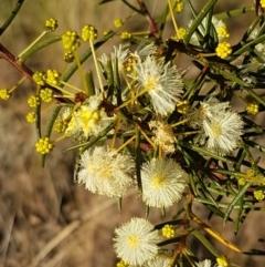 Acacia genistifolia (Early Wattle) at Flea Bog Flat, Bruce - 18 May 2021 by tpreston
