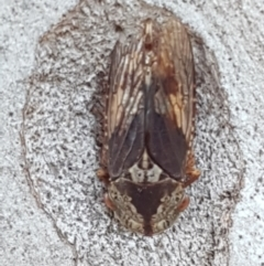 Stenocotis sp. (genus) (A Leafhopper) at Flea Bog Flat, Bruce - 18 May 2021 by tpreston