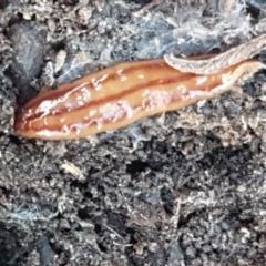 Anzoplana trilineata (A Flatworm) at Flea Bog Flat, Bruce - 18 May 2021 by tpreston