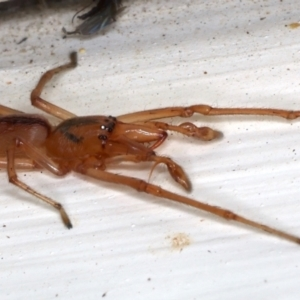 Tetragnatha sp. (genus) at Ainslie, ACT - 14 May 2021