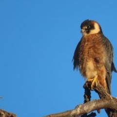 Falco longipennis (Australian Hobby) at Garran, ACT - 18 May 2021 by roymcd