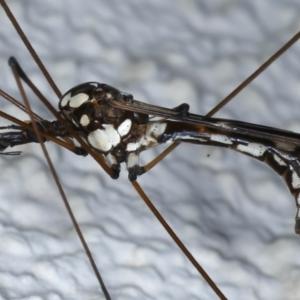 Ischnotoma (Ischnotoma) eburnea at Ainslie, ACT - 6 May 2021
