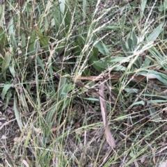 Ehrharta erecta (Panic Veldtgrass) at Hughes, ACT - 19 May 2021 by ruthkerruish
