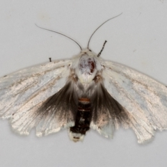 Cryptophasa sp. (genus) (Gum Tree Borer Moth) at Melba, ACT - 3 Dec 2020 by Bron