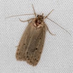 Chezala privatella (A Concealer moth) at Melba, ACT - 3 Dec 2020 by Bron