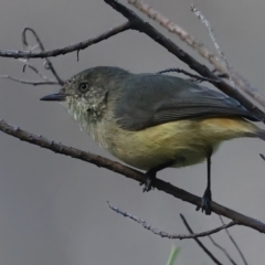 Acanthiza reguloides (Buff-rumped Thornbill) at Mount Ainslie - 13 May 2021 by jbromilow50