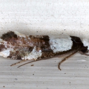 Monopis icterogastra at Ainslie, ACT - 12 May 2021