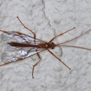 Netelia sp. (genus) at Ainslie, ACT - 14 May 2021