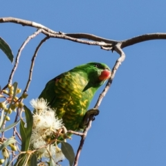 Trichoglossus chlorolepidotus (Scaly-breasted Lorikeet) at Hackett, ACT - 19 May 2021 by Roger