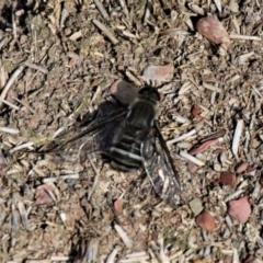 Villa sp. (genus) (Unidentified Villa bee fly) at Forde, ACT - 17 Apr 2021 by HarveyPerkins