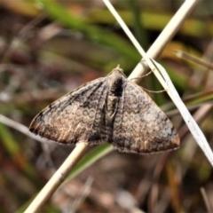 Chrysolarentia mecynata (Mecynata Carpet Moth) at Forde, ACT - 17 Apr 2021 by HarveyPerkins