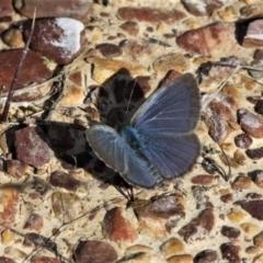 Zizina otis (Common Grass-blue) at Forde, ACT - 17 Apr 2021 by HarveyPerkins