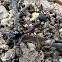 Myrmecia simillima (A Bull Ant) at Forde, ACT - 17 Apr 2021 by HarveyPerkins