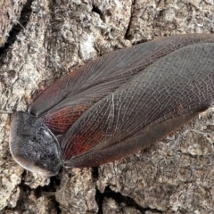 Laxta granicollis (Common bark or trilobite cockroach) at Forde, ACT - 17 Apr 2021 by HarveyPerkins