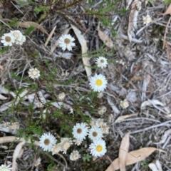 Helichrysum calvertianum (Everlasting Daisy) at Woodlands, NSW - 22 Apr 2021 by KarenG