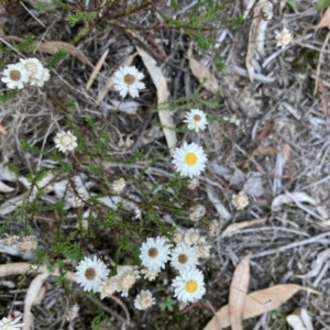Helichrysum calvertianum (Everlasting Daisy) at Woodlands, NSW by KarenG