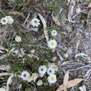 Helichrysum calvertianum at Woodlands, NSW - 22 Apr 2021