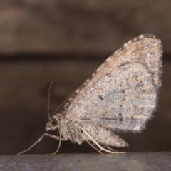 Chrysolarentia subrectaria (Geometrid moth) at Melba, ACT - 19 May 2021 by kasiaaus
