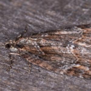 Microdes diplodonta at Melba, ACT - 19 May 2021
